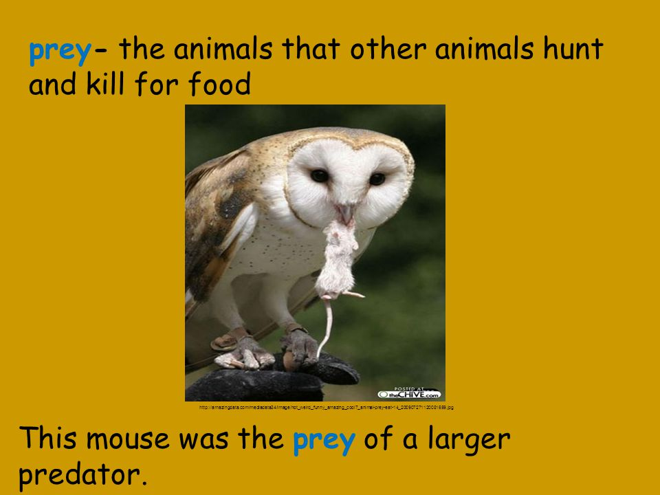 prey- the animals that other animals hunt and kill for food This mouse was the prey of a larger predator.