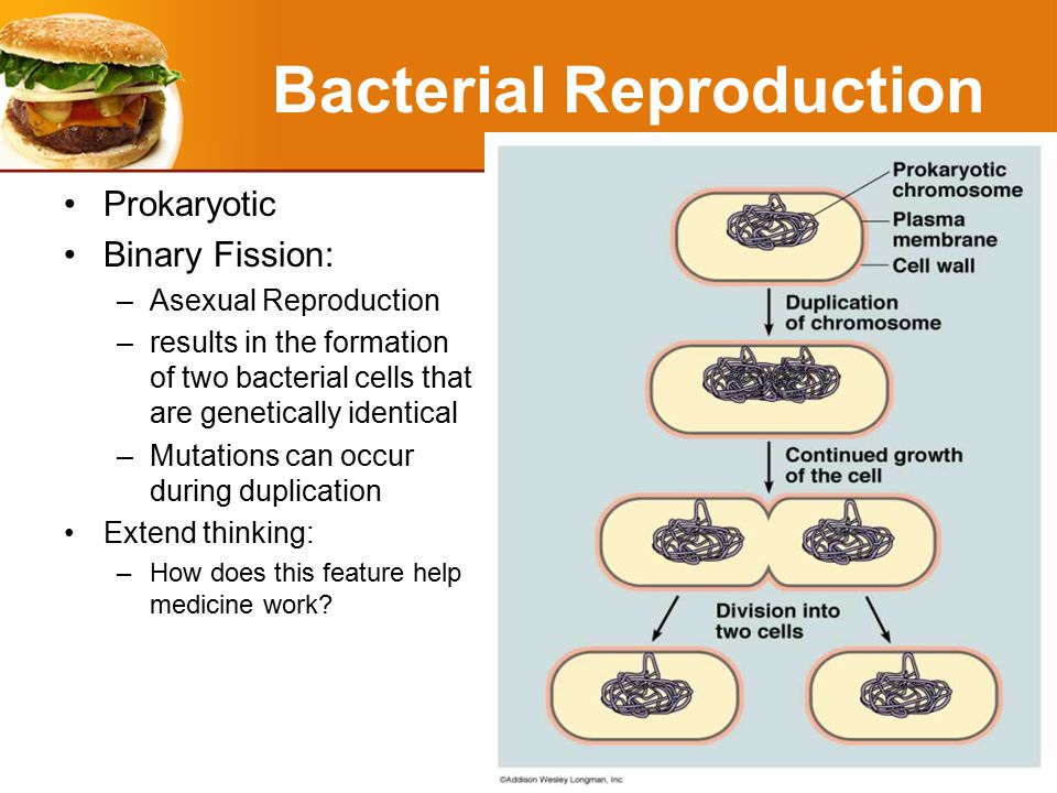 Bacterial Reproduction Prokaryotic Binary Fission: –Asexual Reproduction –results in the formation of two bacterial cells that are genetically identical –Mutations can occur during duplication Extend thinking: –How does this feature help medicine work