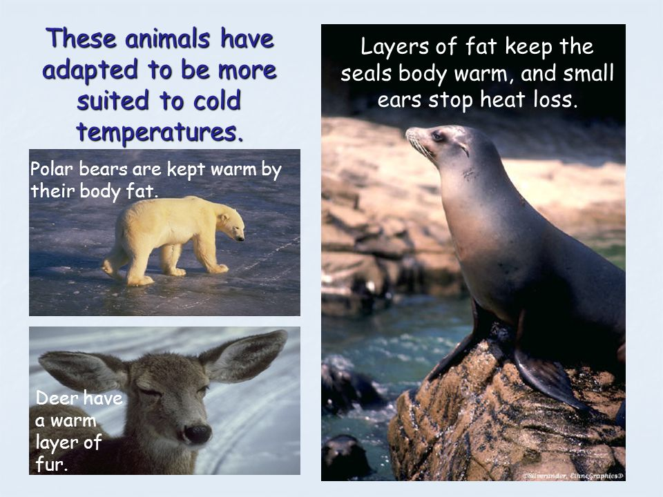 These animals have adapted to be more suited to cold temperatures. Layers of fat keep the seals body warm, and small ears stop heat loss. Polar bears