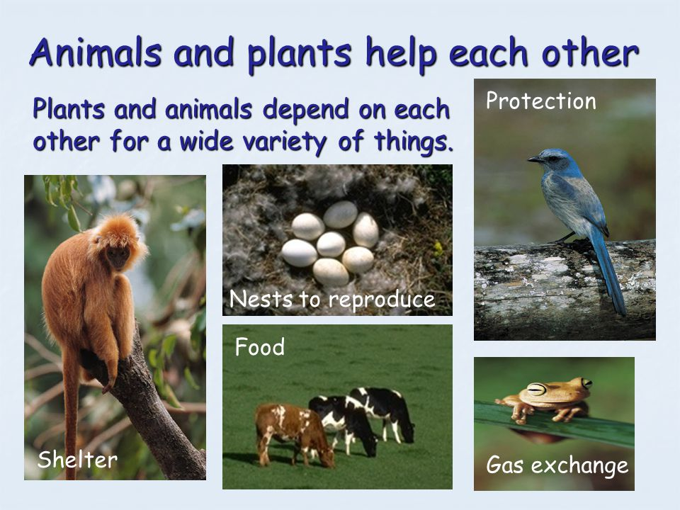 Animals and plants help each other Plants and animals depend on each other for a wide variety of things. Food Nests to reproduce Shelter Protection Ga