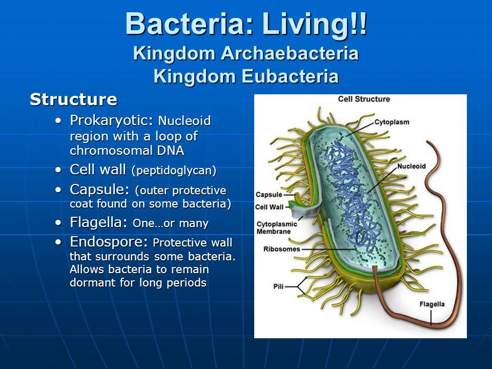 Bacteria: Living!! Kingdom Archaebacteria Kingdom Eubacteria Structure Prokaryotic: Nucleoid region with a loop of chromosomal DNAProkaryotic: Nucleoi