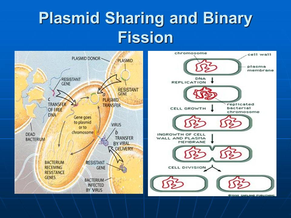 Plasmid Sharing and Binary Fission