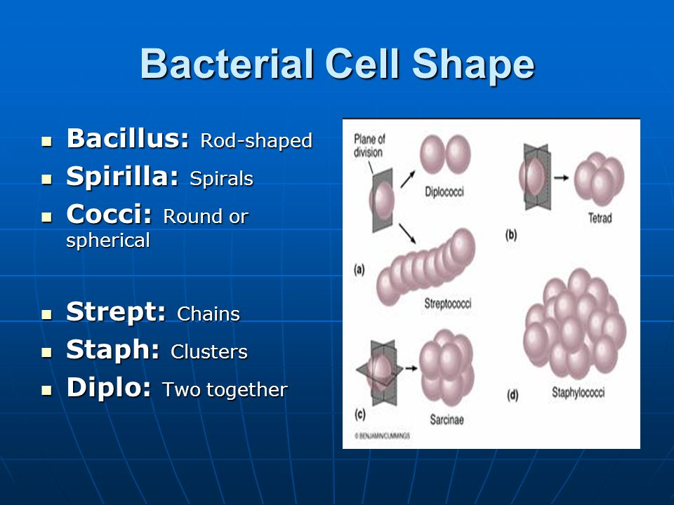 Bacterial Cell Shape Bacillus: Rod-shaped Bacillus: Rod-shaped Spirilla: Spirals Spirilla: Spirals Cocci: Round or spherical Cocci: Round or spherical Strept: Chains Strept: Chains Staph: Clusters Staph: Clusters Diplo: Two together Diplo: Two together