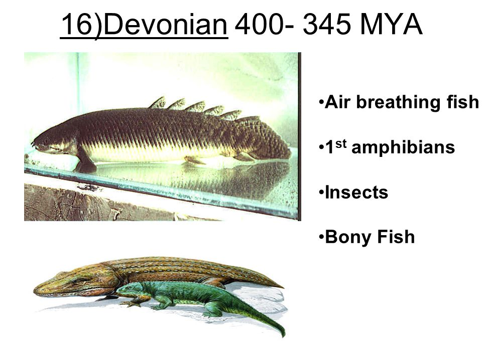 16)Devonian 400- 345 MYA Air breathing fish 1 st amphibians Insects Bony Fish