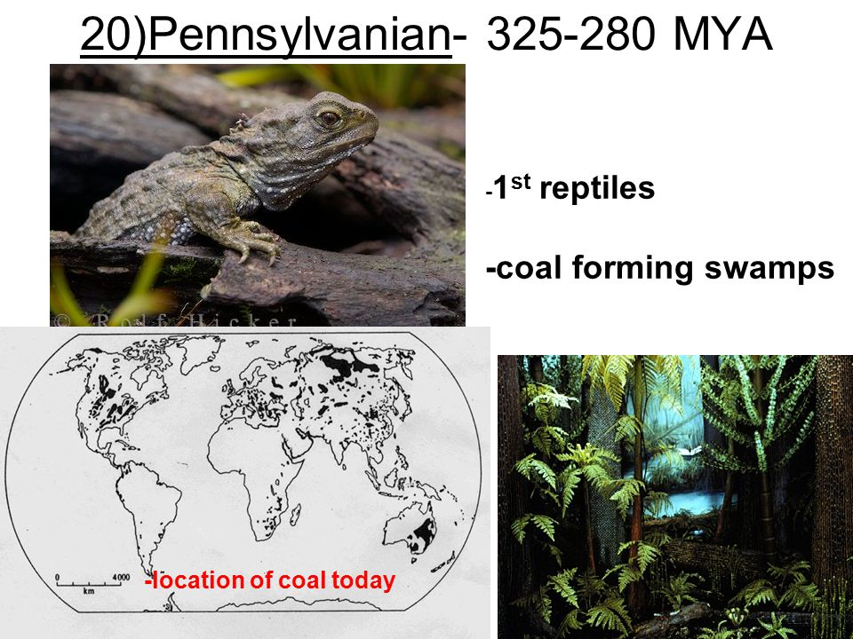 20)Pennsylvanian- 325-280 MYA - 1 st reptiles -coal forming swamps -location of coal today