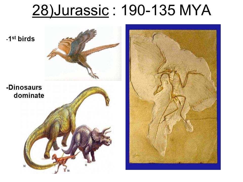 28)Jurassic : 190-135 MYA - 1 st birds -Dinosaurs dominate