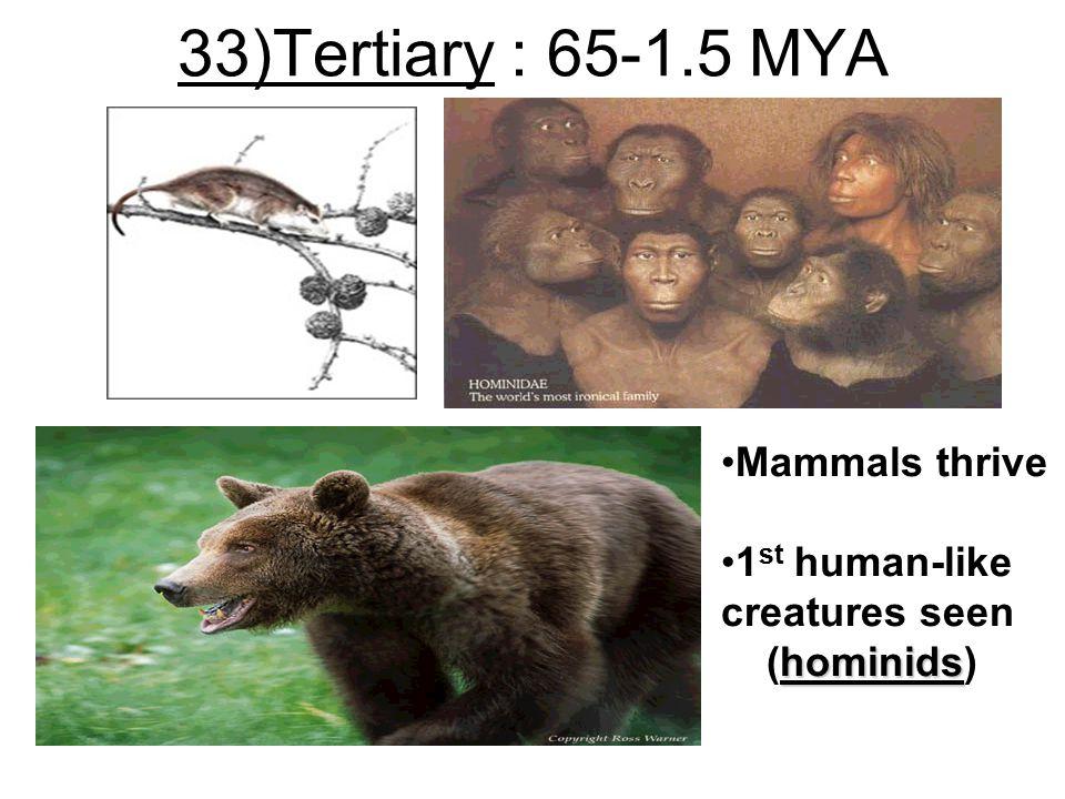 33)Tertiary : 65-1.5 MYA Mammals thrive 1 st human-like creatures seen hominids (hominids)