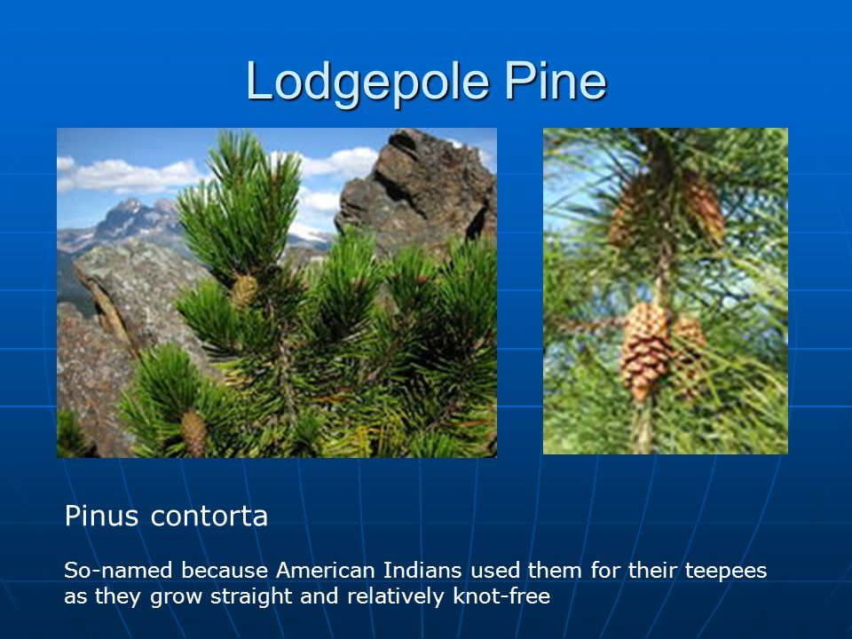 Lodgepole Pine Pinus contorta So-named because American Indians used them for their teepees as they grow straight and relatively knot-free