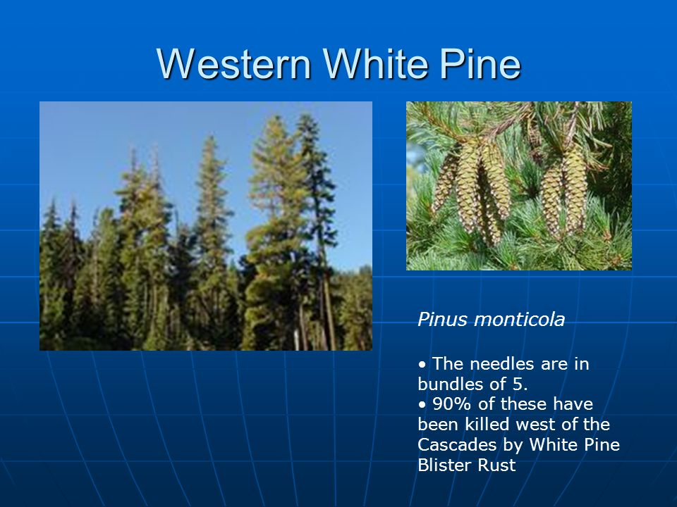 Western White Pine Pinus monticola The needles are in bundles of 5.