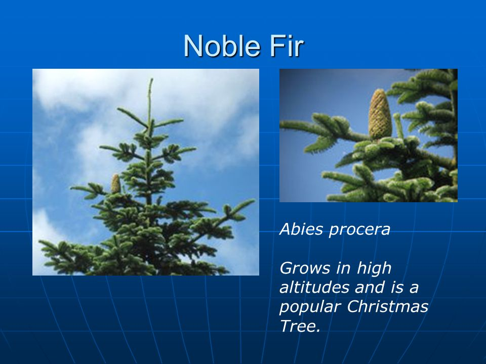 Noble Fir Abies procera Grows in high altitudes and is a popular Christmas Tree.