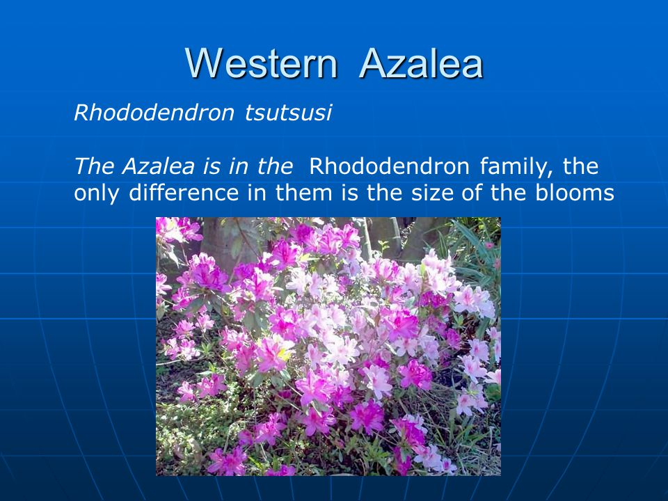 Western Azalea Rhododendron tsutsusi The Azalea is in the Rhododendron family, the only difference in them is the size of the blooms