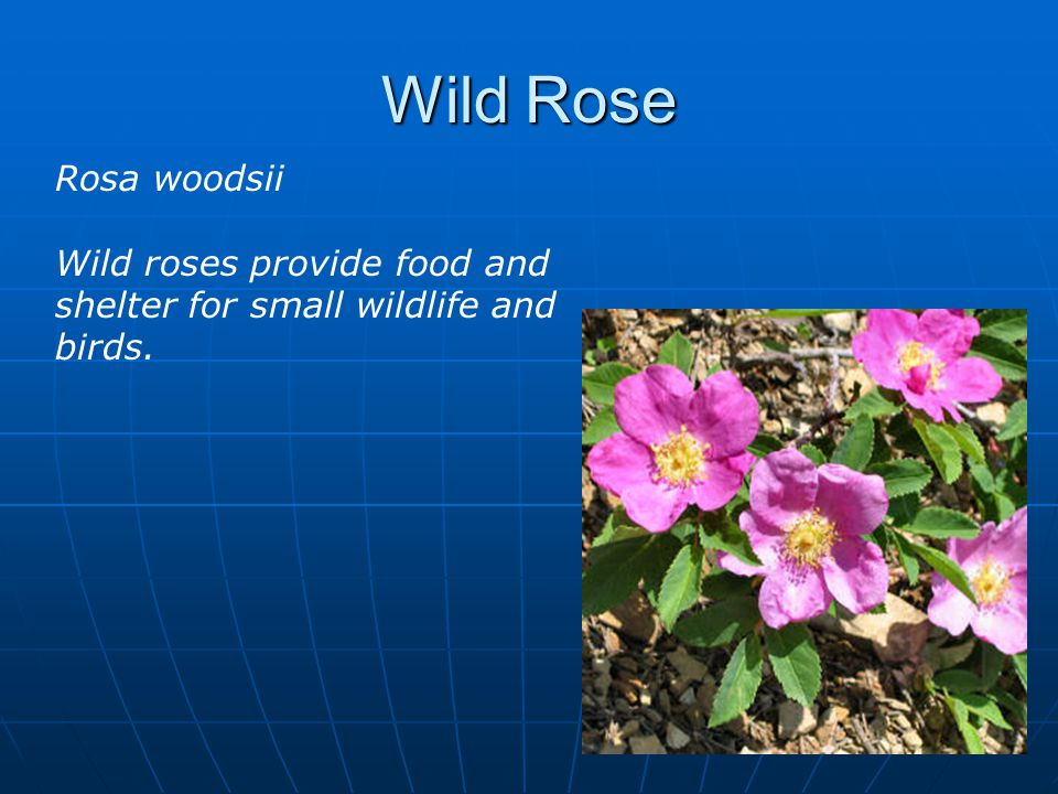 Wild Rose Rosa woodsii Wild roses provide food and shelter for small wildlife and birds.