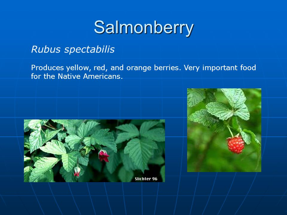 Salmonberry Rubus spectabilis Produces yellow, red, and orange berries.
