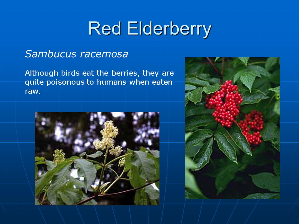 Red Elderberry Sambucus racemosa Although birds eat the berries, they are quite poisonous to humans when eaten raw.