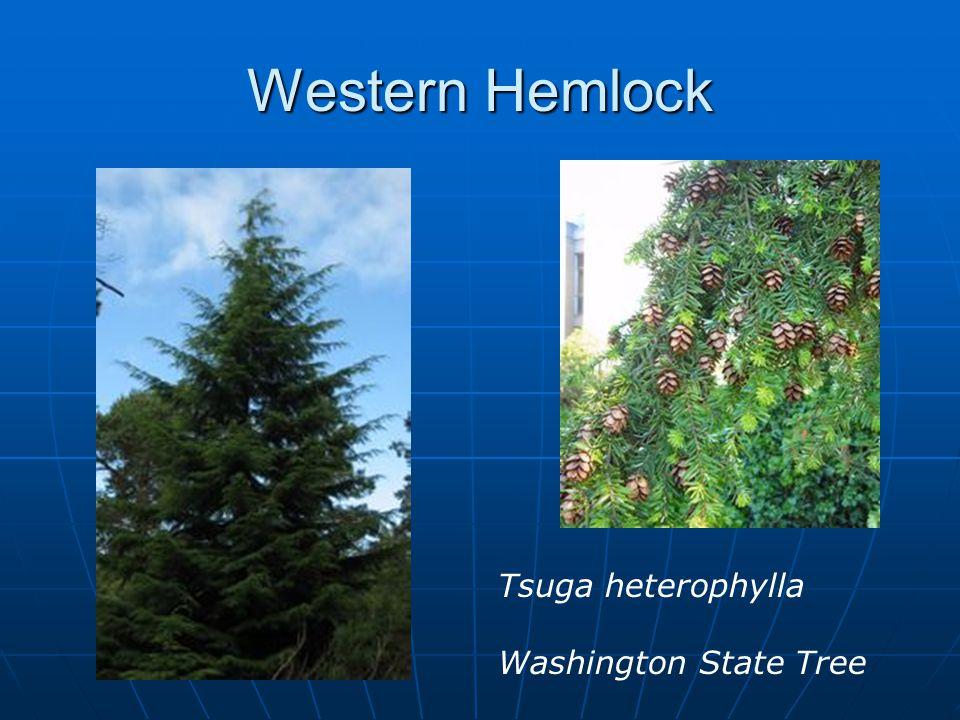 Western Hemlock Tsuga heterophylla Washington State Tree