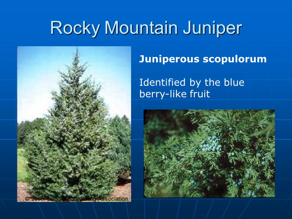 Rocky Mountain Juniper Juniperous scopulorum Identified by the blue berry-like fruit