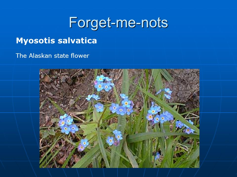 Forget-me-nots Myosotis salvatica The Alaskan state flower