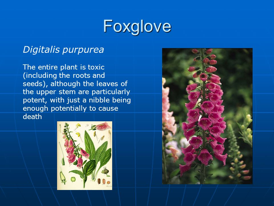 Foxglove Digitalis purpurea The entire plant is toxic (including the roots and seeds), although the leaves of the upper stem are particularly potent, with just a nibble being enough potentially to cause death