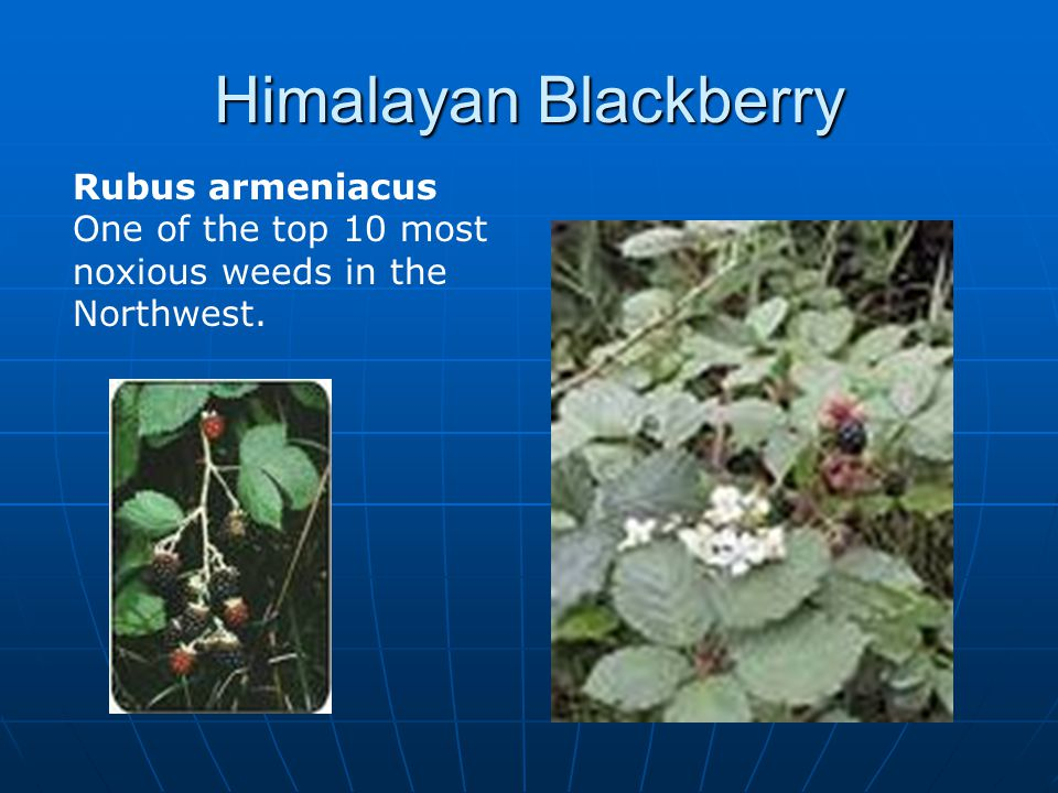 Himalayan Blackberry Rubus armeniacus One of the top 10 most noxious weeds in the Northwest.
