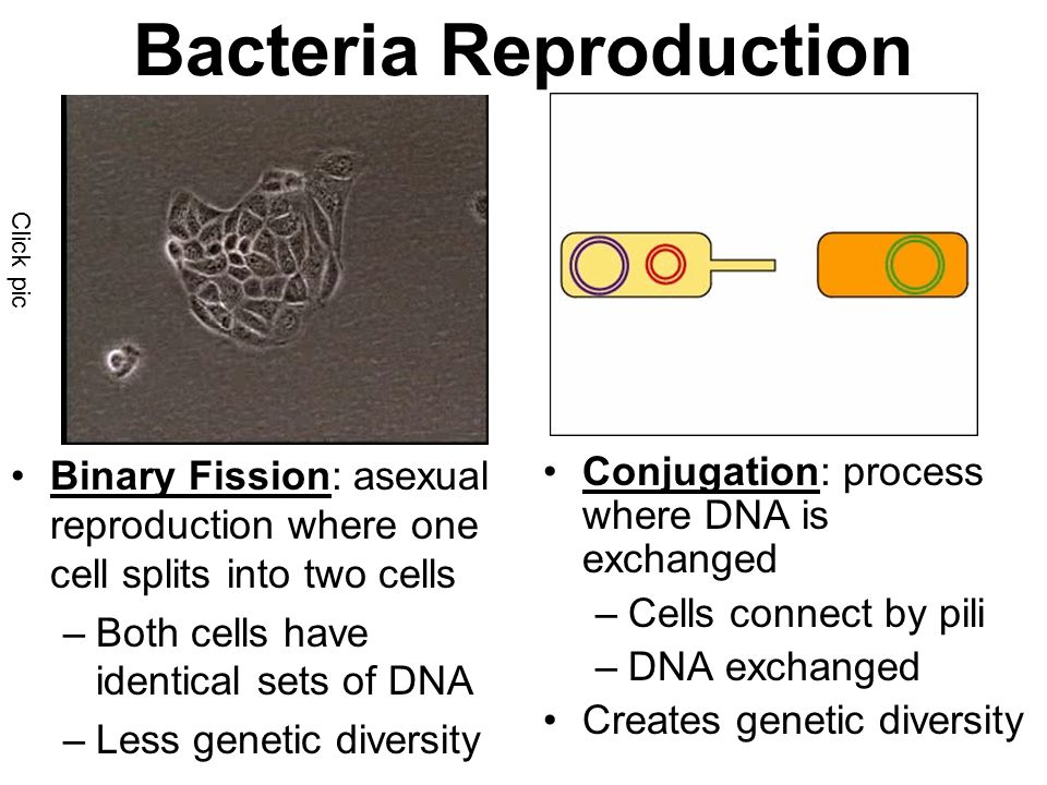 Bacteria Reproduction Binary Fission: asexual reproduction where one cell splits into two cells –Both cells have identical sets of DNA –Less genetic diversity Conjugation: process where DNA is exchanged –Cells connect by pili –DNA exchanged Creates genetic diversity Click pic