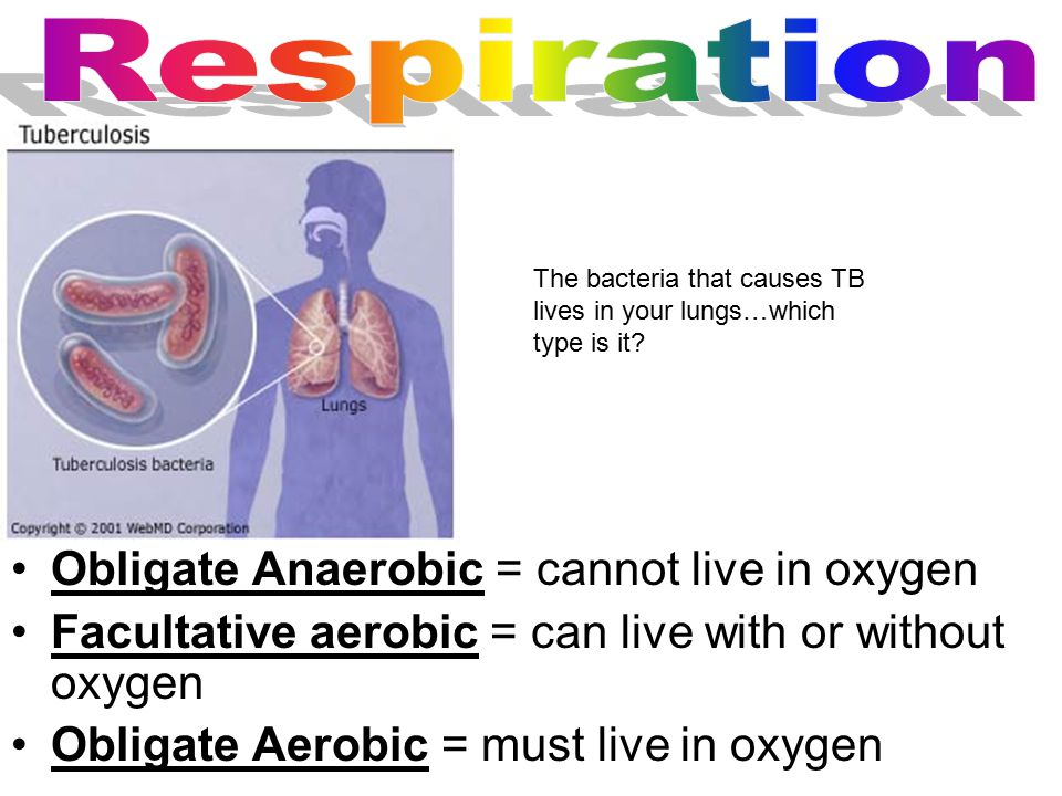 Obligate Anaerobic = cannot live in oxygen Facultative aerobic = can live with or without oxygen Obligate Aerobic = must live in oxygen The bacteria that causes TB lives in your lungs…which type is it?