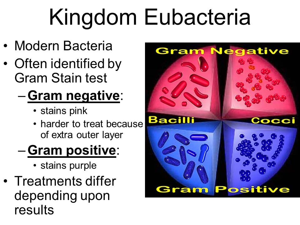 Kingdom Eubacteria Modern Bacteria Often identified by Gram Stain test –Gram negative: stains pink harder to treat because of extra outer layer –Gram positive: stains purple Treatments differ depending upon results