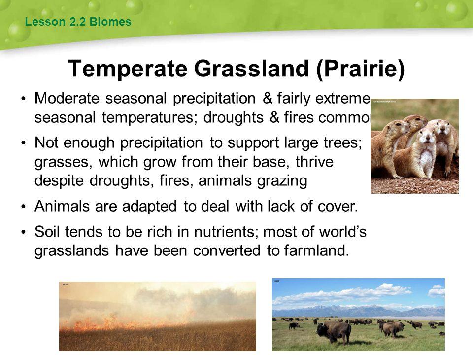 Temperate Grassland (Prairie) Lesson 2.2 Biomes Moderate seasonal precipitation & fairly extreme seasonal temperatures; droughts & fires common Not en