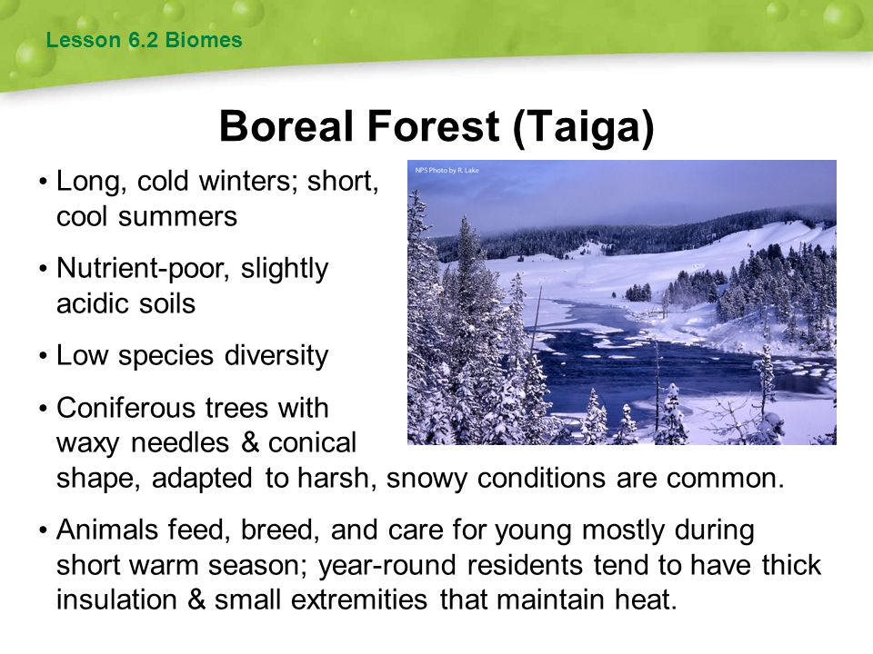 Boreal Forest (Taiga) Lesson 6.2 Biomes Long, cold winters; short, cool summers Nutrient-poor, slightly acidic soils Low species diversity Coniferous