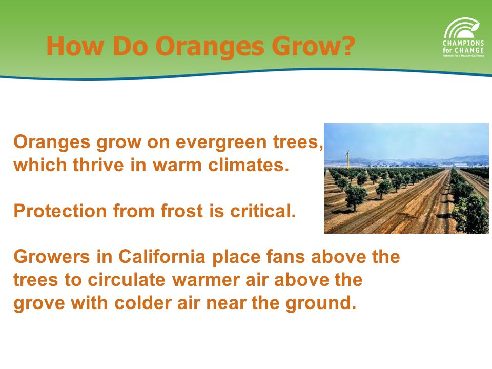 How Do Oranges Grow.Oranges grow on evergreen trees, which thrive in warm climates.