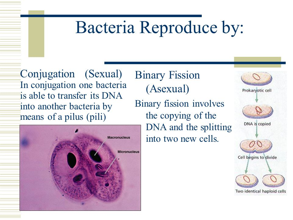 Bacteria Reproduce by: Binary Fission (Asexual) Binary fission involves the copying of the DNA and the splitting into two new cells. Conjugation (Sexu