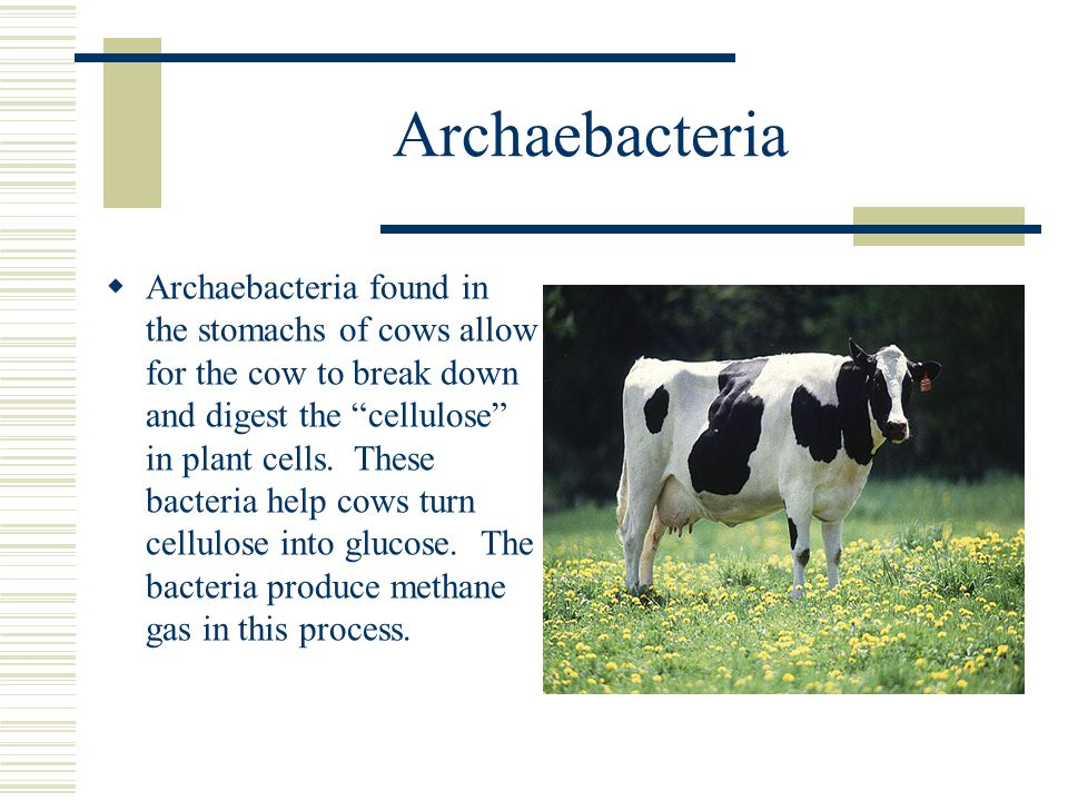 """Archaebacteria  Archaebacteria found in the stomachs of cows allow for the cow to break down and digest the """"cellulose"""" in plant cells. These bacteri"""