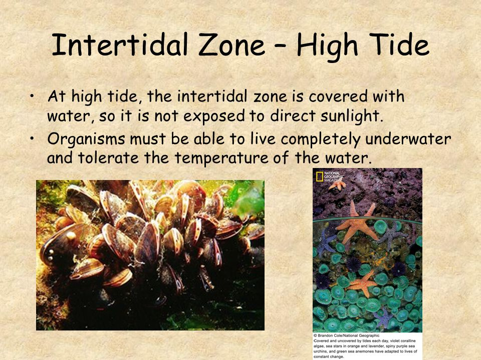 Intertidal Zone – High Tide At high tide, the intertidal zone is covered with water, so it is not exposed to direct sunlight.