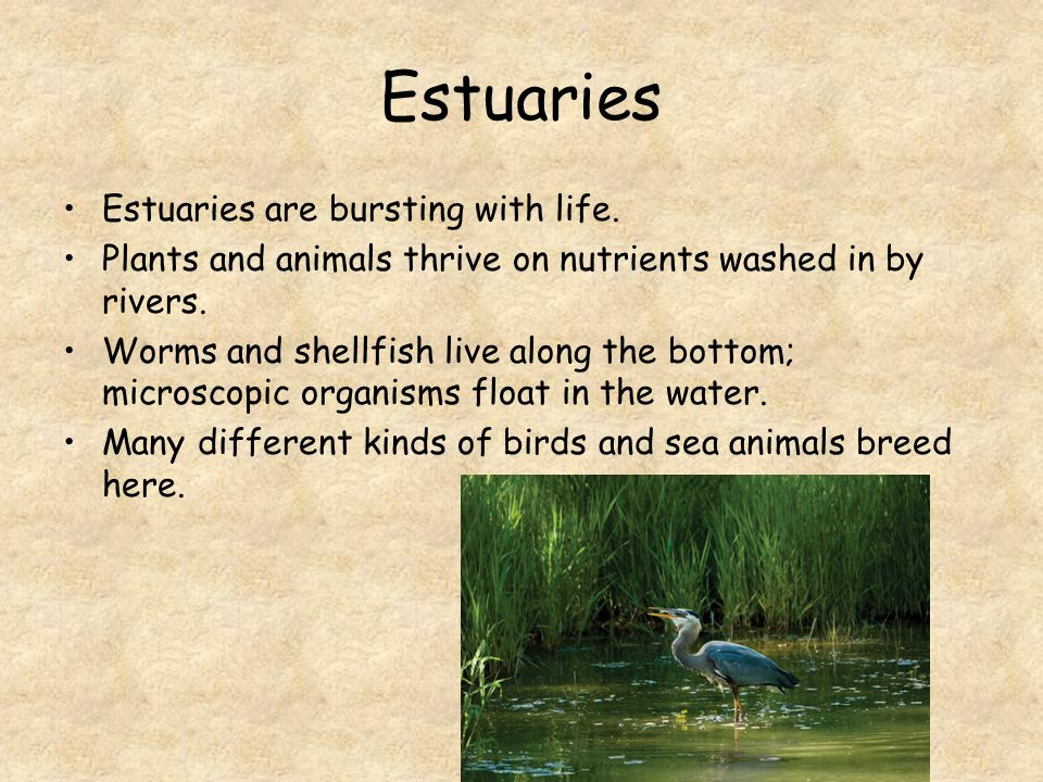 Estuaries Estuaries are bursting with life. Plants and animals thrive on nutrients washed in by rivers. Worms and shellfish live along the bottom; mic
