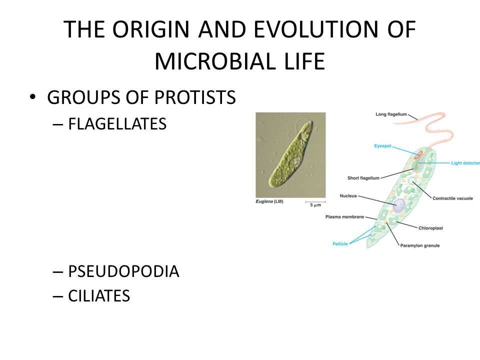 THE ORIGIN AND EVOLUTION OF MICROBIAL LIFE GROUPS OF PROTISTS – FLAGELLATES – PSEUDOPODIA – CILIATES