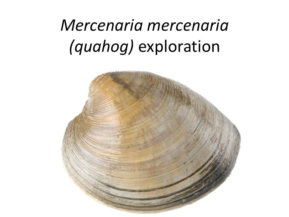 Mercenaria mercenaria (quahog) exploration