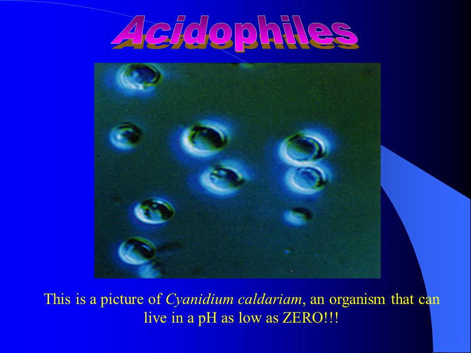 This is a picture of Cyanidium caldariam, an organism that can live in a pH as low as ZERO!!!