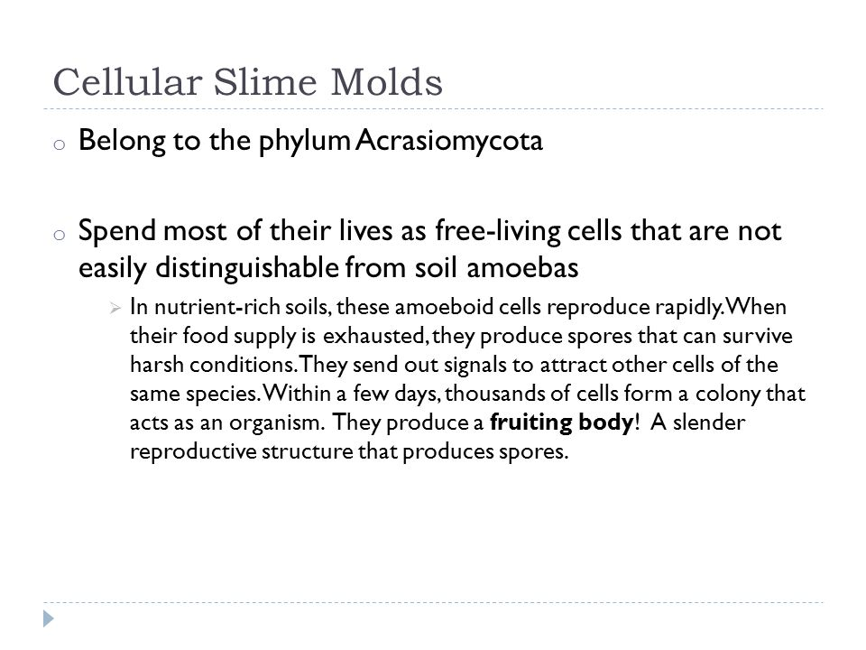 Cellular Slime Molds o Belong to the phylum Acrasiomycota o Spend most of their lives as free-living cells that are not easily distinguishable from soil amoebas  In nutrient-rich soils, these amoeboid cells reproduce rapidly.