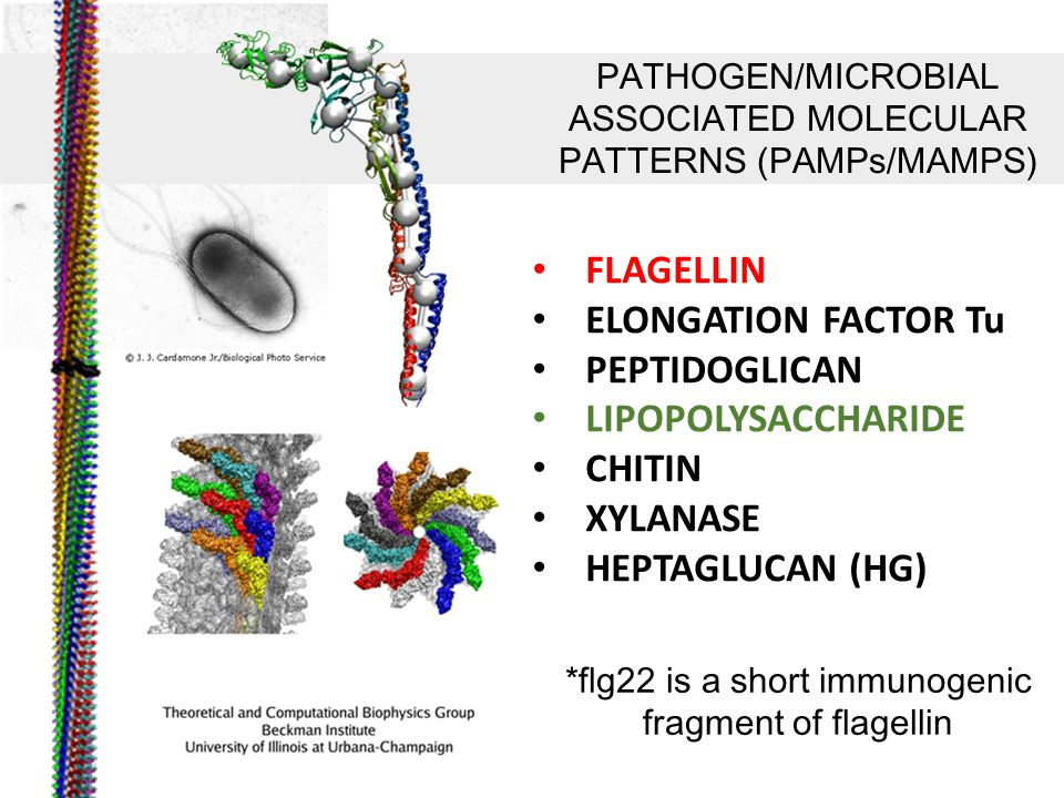 FLAGELLIN ELONGATION FACTOR Tu PEPTIDOGLICAN LIPOPOLYSACCHARIDE CHITIN XYLANASE HEPTAGLUCAN (HG) PATHOGEN/MICROBIAL ASSOCIATED MOLECULAR PATTERNS (PAMPs/MAMPS) *flg22 is a short immunogenic fragment of flagellin