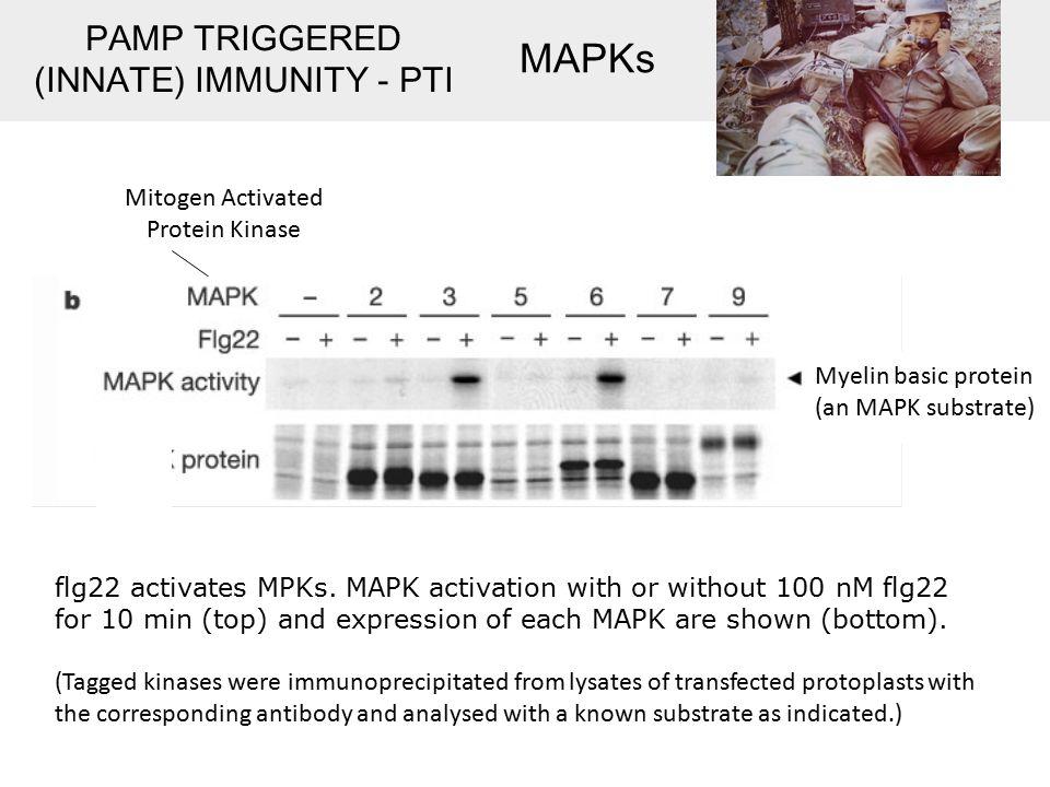 flg22 activates MPKs.