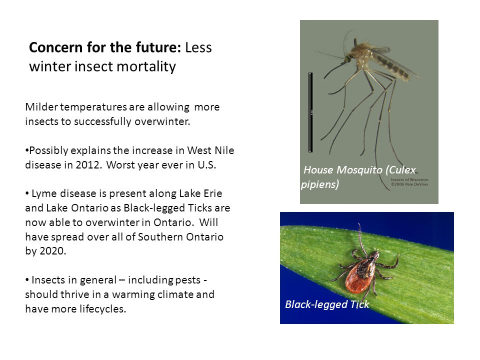 Concern for the future: Less winter insect mortality House Mosquito (Culex pipiens) Black-legged Tick Milder temperatures are allowing more insects to successfully overwinter.