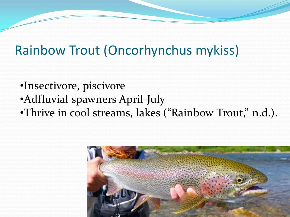 Rainbow Trout (Oncorhynchus mykiss) Insectivore, piscivore Adfluvial spawners April-July Thrive in cool streams, lakes ( Rainbow Trout, n.d.).