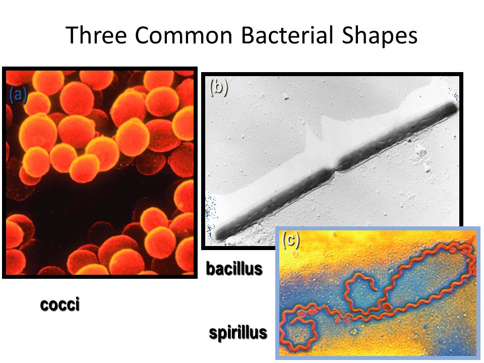 Three Common Bacterial Shapes (a) (b) (c) cocci spirillus bacillus