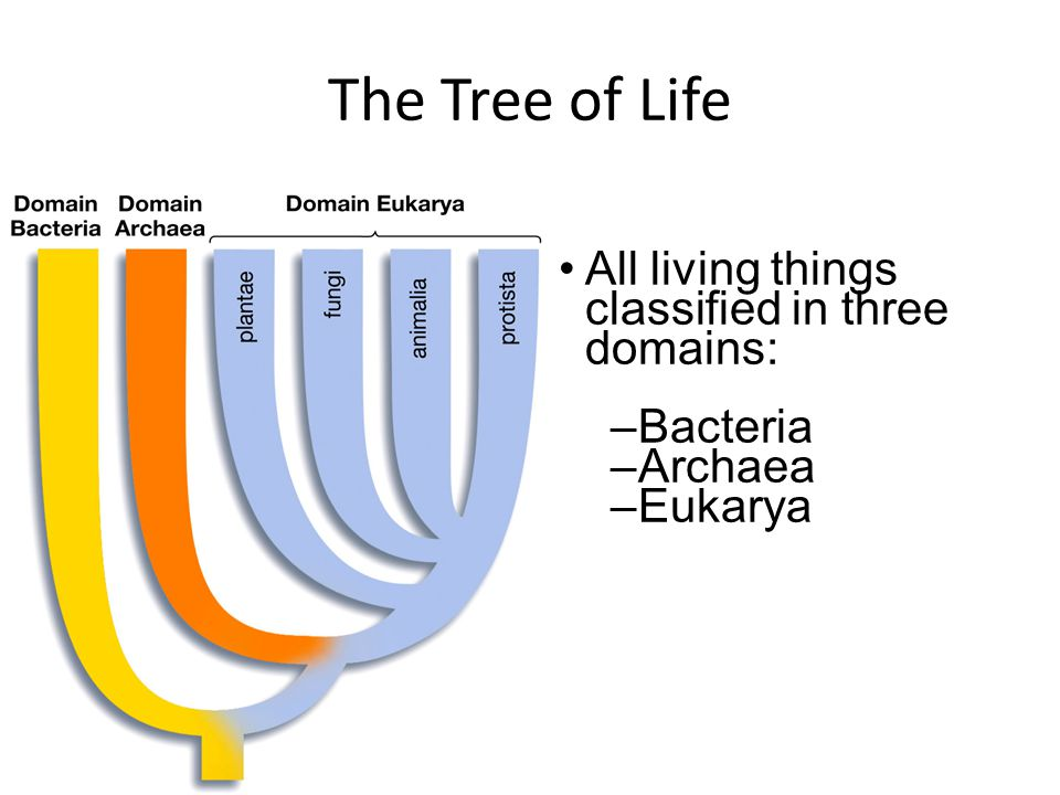 The Tree of Life All living things classified in three domains: –Bacteria –Archaea –Eukarya