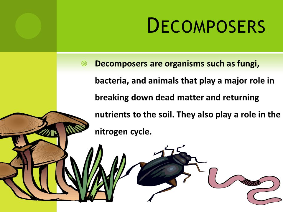 D ECOMPOSERS  Decomposers are organisms such as fungi, bacteria, and animals that play a major role in breaking down dead matter and returning nutrients to the soil.