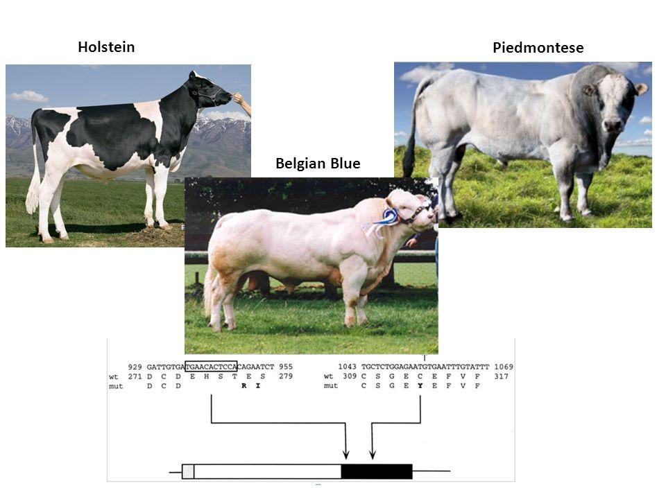 Holstein Piedmontese Belgian Blue