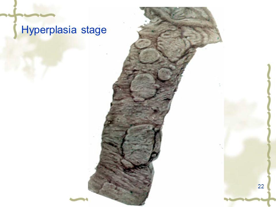 22 Hyperplasia stage