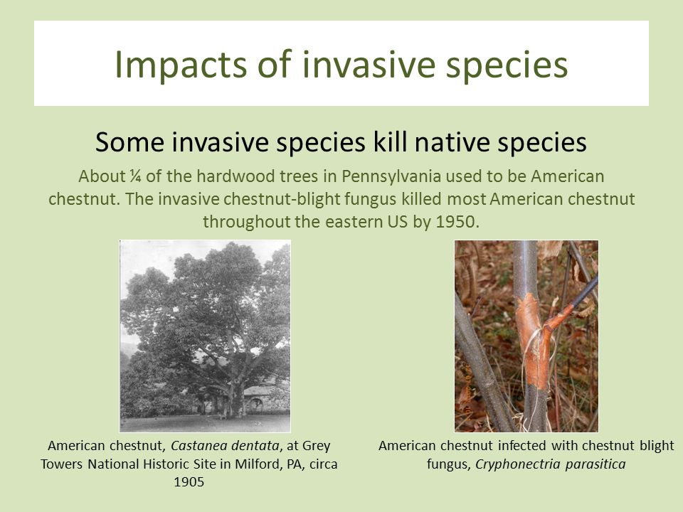 Impacts of invasive species Some invasive species kill native species About ¼ of the hardwood trees in Pennsylvania used to be American chestnut.
