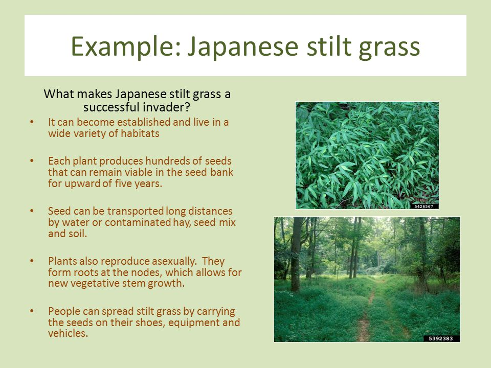 Example: Japanese stilt grass What makes Japanese stilt grass a successful invader? It can become established and live in a wide variety of habitats E