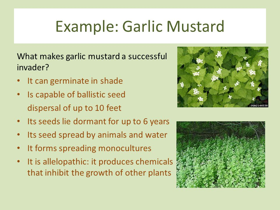 Example: Garlic Mustard What makes garlic mustard a successful invader? It can germinate in shade Is capable of ballistic seed dispersal of up to 10 f