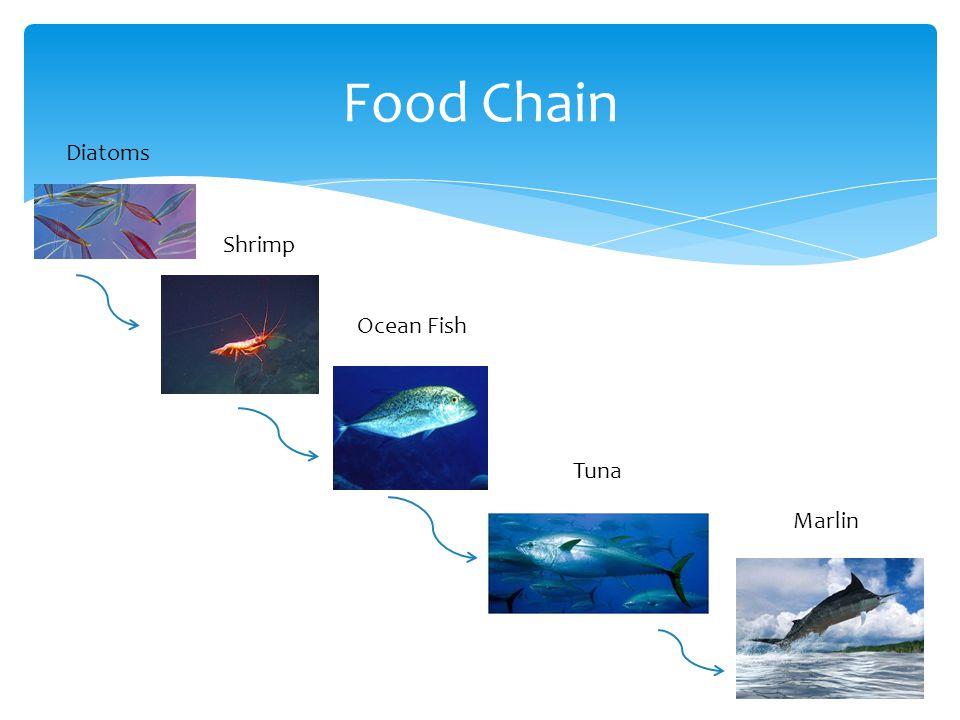 Food Chain Diatoms Shrimp Ocean Fish Tuna Marlin
